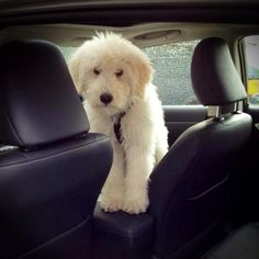 Lets go dude tomasmopdog -> get free grocery coupons! it really works! Click Now! Baby Puppies, Cute Puppies, Cute Dogs, Chien Goldendoodle, Goldendoodles, Labradoodles, Cockapoo, Big Dogs, I Love Dogs
