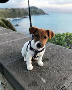 Jack Russell Terriers are so intelligent that they sometimes even outwit their humans. Perros Jack Russell, Jack Russell Puppies, Jack Russell Terrier, Perros Bull Terrier, Terrier Puppies, Bull Terrier Dog, Terriers, Cute Puppies, Cute Dogs