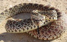 strong/ flexible    Google Image Result for http://www.texassnakes.net/bullsnake.jpg
