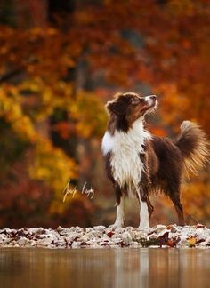 Border collie - autumn