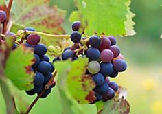 Weintrauben anbauen - so klappt's im eigenen Garten