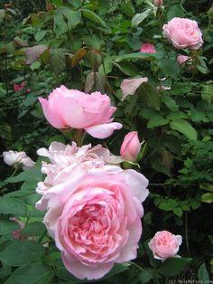 'Duchesse de Brabant' Rose Photo