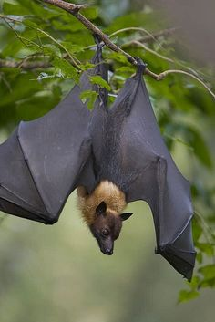 https://flic.kr/p/6TaHbF | Malayan Flying Fox , Singapore | Pteropus vampyrus. Singapore Zoo. Roosting during the day.     See more images at www.auswildlife.com