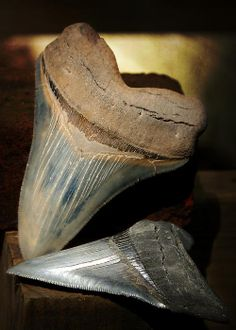 170 best Favorite extinct Animals  images on Pinterest   Dinosaurs     Megalodon Fossil Shark Teeth