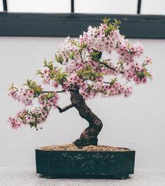 Bonsai Tree Care for Beginners Cherry Blossom Bonsai Tree, Buy Bonsai Tree, Flowering Bonsai Tree, Bonsai Tree Care, Indoor Bonsai Tree, Potted Trees, Trees To Plant, Bonsai Trees, Cherry Bonsai