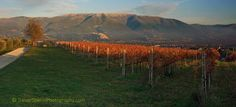 Montefalco vineyard with Trevi behind