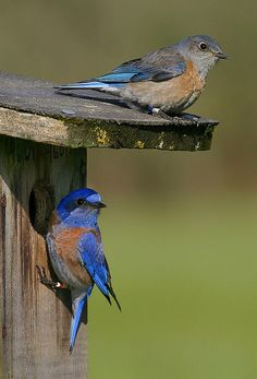 Did you know about the Brambleton Bluebird and Garden Club (BBGC)? We currently have two bluebird trails with approximately 24 nest boxes in total. Monitoring starts in early April and continues till late August.