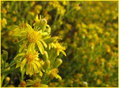 Israel Inula viscosa Compositae Plant Has Medicinal Value - Homeopathy World Community