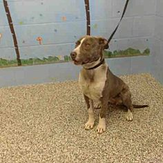 URGENT on 12/19 San Bernardino, California - Pit Bull Terrier.SAN BERNARDINO, a for adoption. https://www.adoptapet.com/pet/20255144-san-bernardino-california-pit-bull-terrier-mix