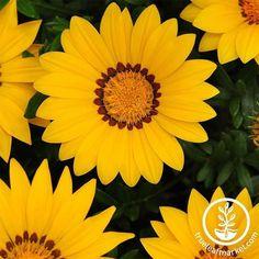 Gazania Flowers, Shade Flowers, Orange Flowers, Amazing Flowers, Beautiful Roses, 91 Days, Planting Sunflowers, Sprouting Seeds, Annual Flowers
