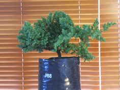 Bonsai for Beginners: step by step instructions, with pictures, on how to create a bonsai tree