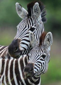 Plains Zebra (Equus quagga) ~ Photography by Ian N. White