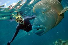 Snorkeling with a humphead wrasse