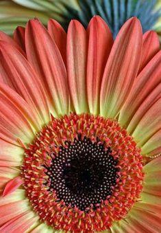 Gerbera daisy - my fav flower Happy Flowers, Flowers Nature, My Flower, Pretty Flowers, Flower Power, Daisy Love, Calendula, Gerber Daisies, Flower Wallpaper