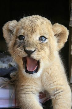 """""""Feed me!"""" -baby lion"""