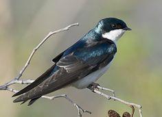 Tree Swallow, 5/9/2013, Lake Sacajawea, Longview, WA