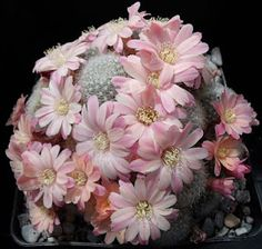 Rebutia cv. Summer snow / Aylostera cv. Summer snow