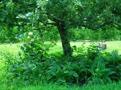 Under planting fruit trees with comfrey