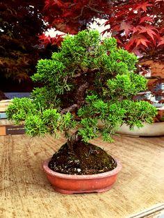 Itogawa Shimpaku Bonsai, Japanese, Plants, Japanese Language, Plant, Planets, String Garden