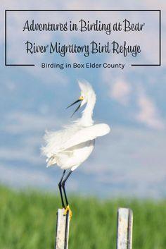 Birding in Box Elder County. Adventures in Birding at Bear River Migratory Bird Refuge. Things to do in Box Elder County Utah (USA). Family trips in Utah. Utah parks.