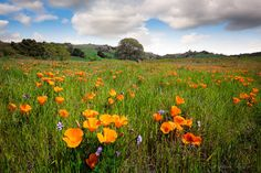 California Poppies, Mt Diablo State Park Print, Bay Area Photo, Golden Wildflowers, Nature Wall Art, Oak Tree Photo, Canvas Gallery Wrap by SusanTaylorPhoto on Etsy