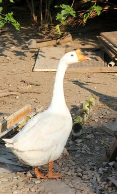 5 Things You Should Know About Raising Geese