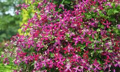 CLEMATIS 'SWEET SUMMER LOVE' - an autumn clematis with red flowers that change to purple. Great fragrance, super sturdy and easy to grow! #heavenisagarden