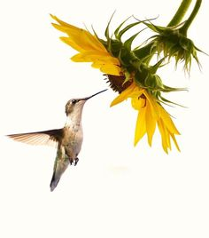 Hummingbird and sunflowers together... my favorite!!!!!!