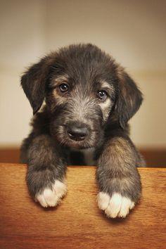 Those cute big paws - Irish wolfhound puppy Irish Wolfhound Puppies, Irish Wolfhounds, Cute Puppies, Dogs And Puppies, Poodle Puppies, Pet Dogs, Dog Cat, Doggies, Beautiful Dogs