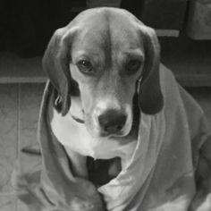 Una ternurita ... Dece mi hijo ... #beagle