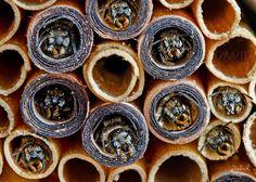 Pappröhrchen sind entgegen aller Erwartung erstaunlich robust, werden gerne besiedelt und halten an einem geschützten Standort jahrelang. (Insektennisthilfe Insektenhotel Nisthilfe Pappröhrchen Scherenbiene, insect hotel, insect nesting aid) pollinator
