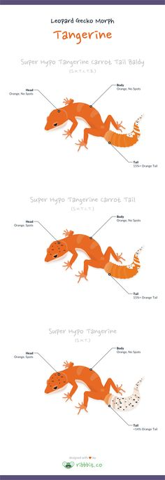 A tangerine leopard gecko has a tangerine or orange coloration throughout…