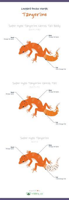 A tangerine leopard gecko hasa tangerine or orange coloration throughout…