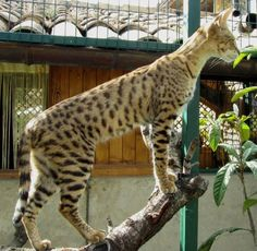 """""""savannah"""" cat :) The biggest domestic cat in world ^^ He's a mix beetween bengal cat and serval cat."""