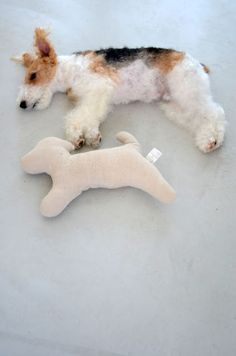 wirefoxterrier ワイヤーフォックステリア dog