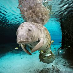 Florida Manatee (Trichechus manatus latirostris) swimming within a fresh water spring on Crystal River in Florida. Fish aggregate around the manatee and eat algae on the manatee's body. (Photo by Brian Skerry)