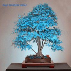20pcs-Blue-Japanese-Maple-Tree-Bonsai-Seeds-Acer-Palmatum-Atropurpureum-Plant