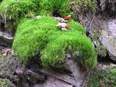 dicranum scoparium | Description Dicranum scoparium 2005.11.13 12.32.51-pb130023.jpg