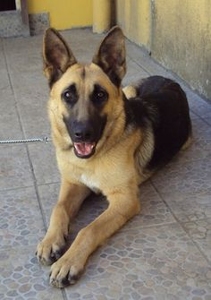 Site of information on german shepard dogs.