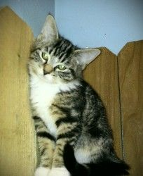 Kovu is a Domestic Short Hair.  He is such a sweet boy.  He loves to play and cuddle.  He would love to go to a new home today. http://www.petfinder.com/petdetail/24819088#