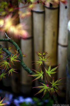 New maples leaves - Kamakura