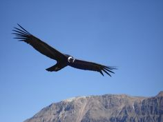 Condor in Colca Canyon, Arequipa, Peru http://www.southamericaperutours.com/