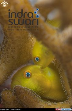 Yellow Bearded Goby in Ambon - Indonesia