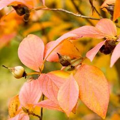 dark green leaves make a nice foil for the late-summer, white camellia-shape flowers. In fall, the leaves turn festive shades of orange, yellow, and red. Herb Garden Design, Diy Herb Garden, Tree Care, Fall Plants, Garden Trees, Growing Tree, Autumn Garden, Trees And Shrubs, Gardens