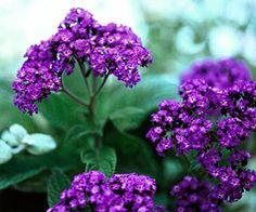 Heliotrope, fragrant flower, purple, gardening, landscaping