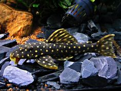 Common name leopard frog plecostomus l134 scientific for What is the scientific name for fish