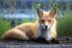Kostenloses Bild auf Pixabay - Fuchs, Kanada, Perce, Quebec