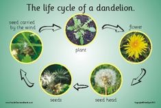 THE LIFE CYCLE OF A DANDELION Introducing and reinforcing simple science. A colourful photographic board showing each of the stages in The Life Cycle of a Dandelion Size x. Outdoor Learning, Home Learning, Arts And Crafts Projects, Arts And Crafts Supplies, Forest School, Nature Journal, Nature Study, Nature Crafts, Life Cycles
