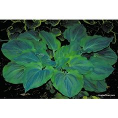 'Dark Shadows' Hosta (Mature Size: x Thick heart-shaped leaves with a gently ruffled edge. Blue-green leaves emerge in spring with a chartreuse margin. Shade Garden Plants, Hosta Plants, Shade Perennials, Buy Plants, Foliage Plants, Outdoor Plants, Outdoor Gardens, Plantain Lily, Hosta Varieties