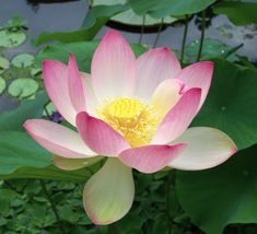 White Lotus Absolute (Nelumbo nucifera) from India is solvent-extracted. Every natural perfumer needs a little White Lotus. Water Garden Plants, Container Water Gardens, Pond Plants, Aquatic Plants, Container Plants, Hd Flower Wallpaper, Nelumbo Nucifera, Lotus Plant, Sacred Lotus